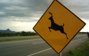 Saiba o que fazer ao identificar animais nas estradas