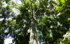 Projeto do IPT aprofunda avaliação de risco de queda de árvores