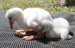 Zoo de São Paulo tem novos filhotes de flamingo-chileno