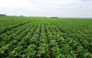 Pesquisa de SP investiga adubo verde como opção para cultivo de tomate orgânico