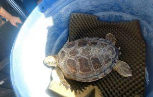Tartarugas voltam ao mar após tratamento no Aquário de Santos