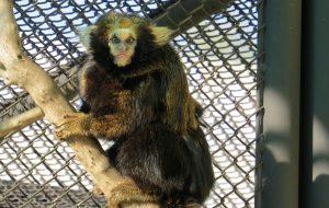Centro de Conservação registra nascimento de sagui ameaçado de extinção