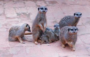 Zoo de SP 'batiza' filhotes de Suricata com nomes escolhidos pelo público