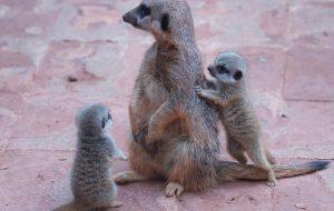 Zoológico de SP faz votação online para dar nome a filhotes de Suricata