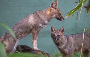 Zoo de São Paulo apresenta ao público duas raposinhas-do-campo