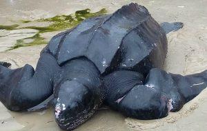Presa em rede, tartaruga-gigante é salva no Guarujá