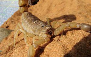 Limpeza e socorro rápido são aliados contra escorpiões