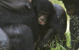 Zoológico de SP registra nascimento de chimpanzé, espécie em perigo de extinção