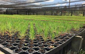 Estação Experimental de Itapetininga promove replantio de 303 hectares de pinus