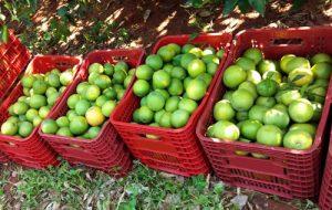 Estado mantém setor de produção de laranja ativo para suprir demanda pela fruta