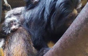 Dois filhotes de mico-leão-preto nascem no Zoo de SP