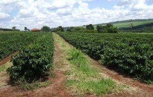 Com apoio do Itesp, produtores de Restinga cultivam mais de 1 milhão de pés de café