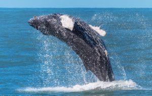 Baleias-jubarte podem ser avistadas no litoral norte de São Paulo
